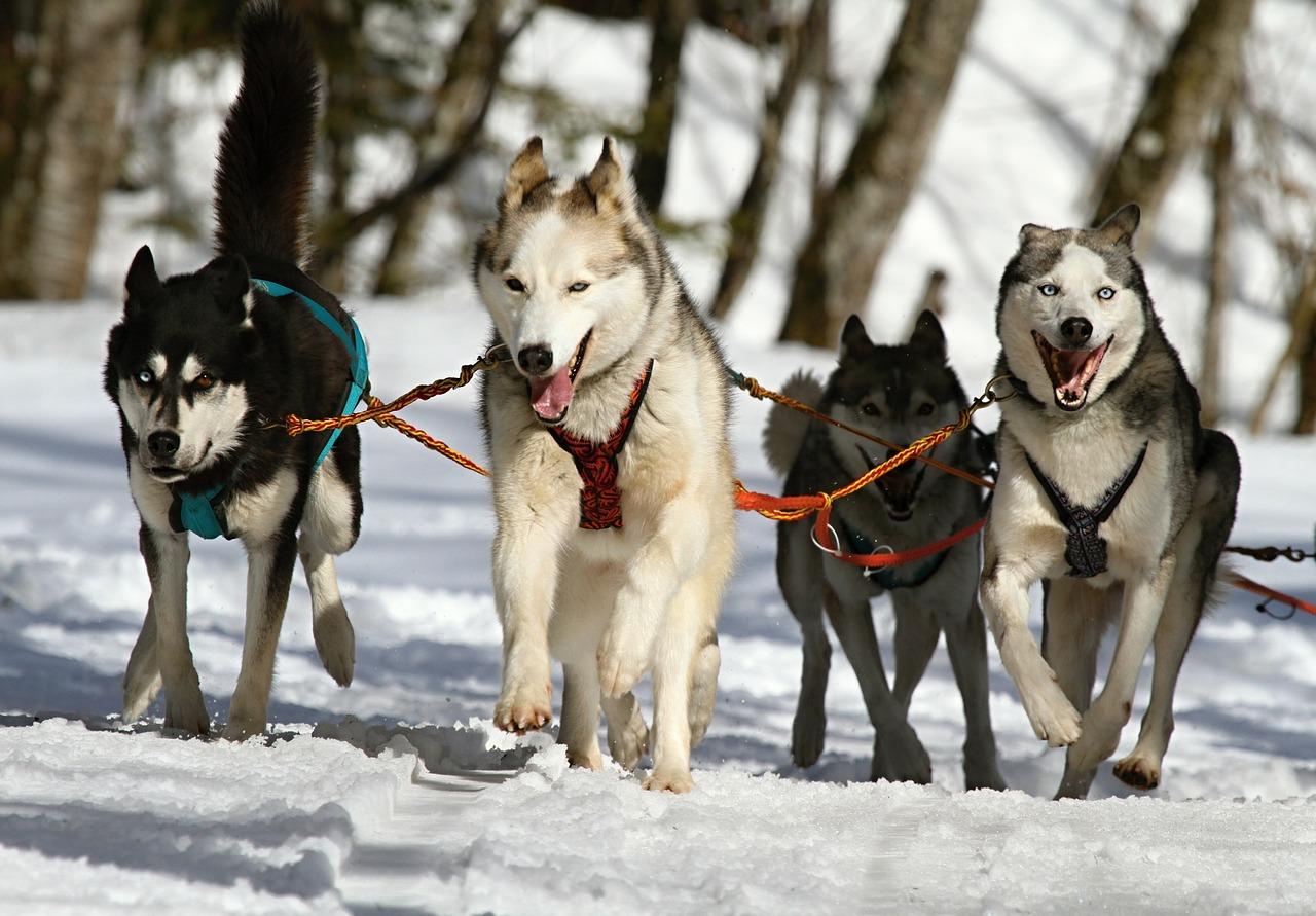 Les chiens de traîneau en pleine activité au Québec