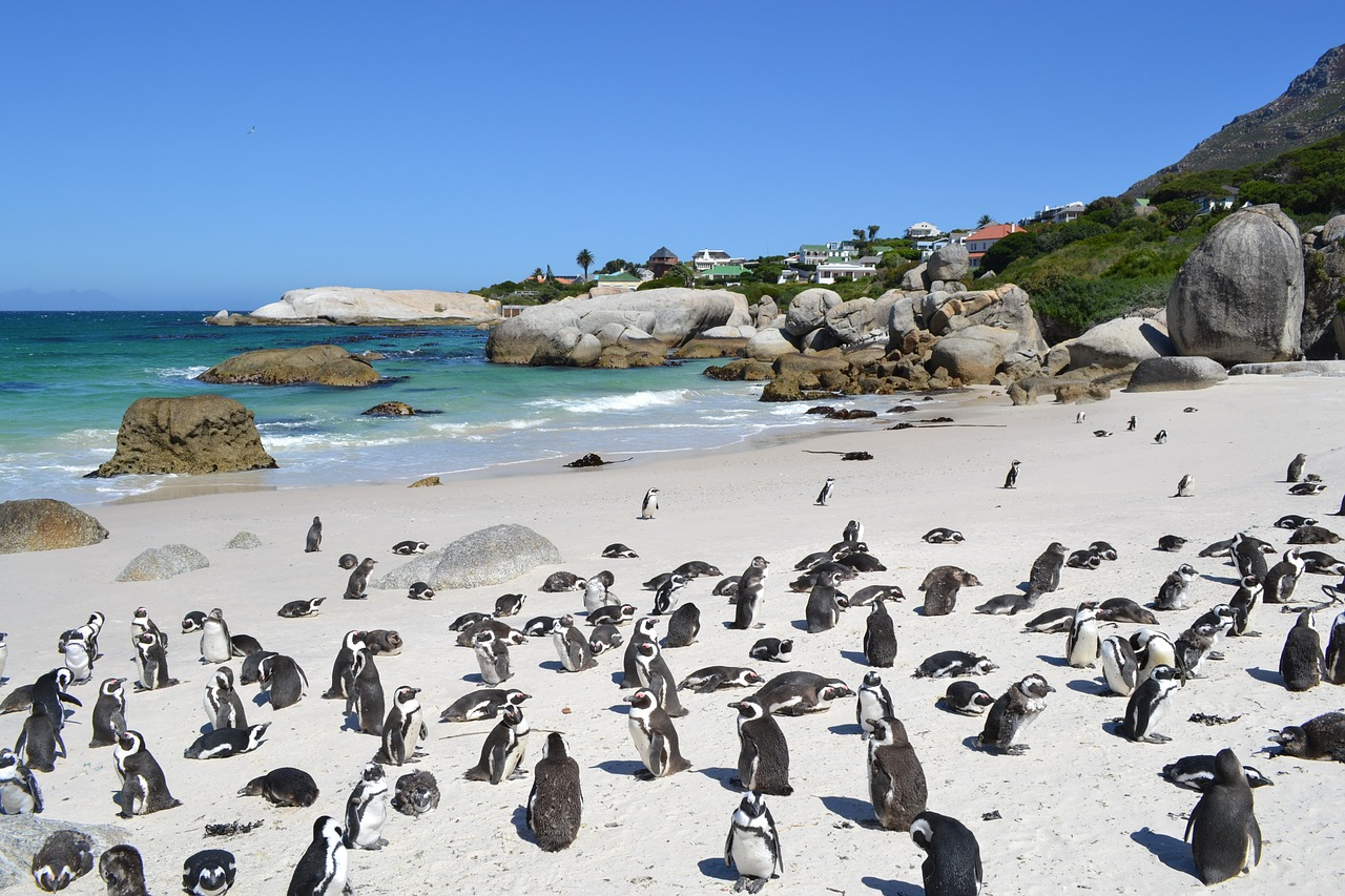 Les pingouins de la région de Cape Town